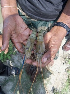 Freshwater prawn (Macrobrachium) in Bangaldesh. Source: ILRI https://www.flickr.com/photos/ilri/14156057093