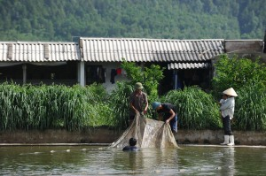 25 July 2013, Ha Trung, Viet Nam - Farmers using a net to catch fish from a pond at their farm.  Photo: FAO