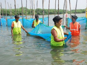 Women in Lake Pulicat building crab fattening cages. Photo: Dr. B. Shanthi, CIBA (ICAR), India.