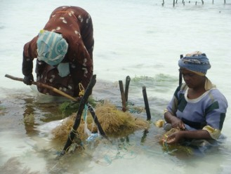 Difficult working conditions: women bending over and sitting submerged in water for long periods tying seaweed to farm stakes, Zanzibar. Photo: Flower Msuya